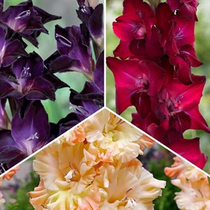 Цветы гладиолусов